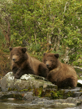Two Alaskan Brown Bear Cubs (Ursus Arctos) on Rocks Near River Photographic Print by Roy Toft