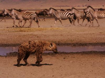 A Spotted Hyena Walks Near a Herd of Zebras (Crocuta Crocuta) Photographic Print by Roy Toft