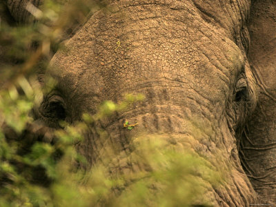Close View of an Elephants Face Through Brush (Loxodonta Africana) Photographic Print by Roy Toft