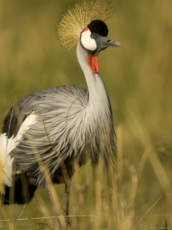 Profile of an African Crested Crane in Grass (Balearica Pavonina) Photographic Print by Roy Toft