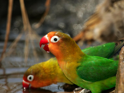 Two Fishers Lovebirds Drinking Water (Agapornis Fischeri) Photographic Print by Roy Toft