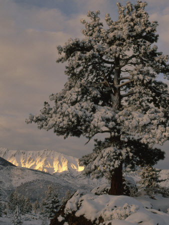 Sunlight on the Sierra Nevada Mountains and a Snow Covered Tree near Bishop, California Photographic Print by Phil Schermeister
