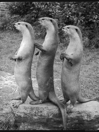 Trio of Otters Photographic Print