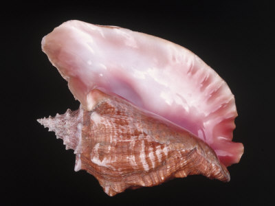 Conch Shell Photographic Print by Bill Keefrey