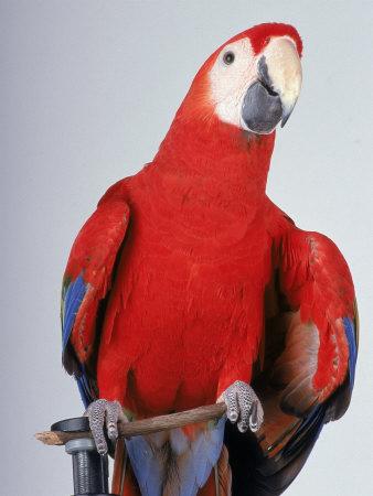 Scarlet Macaw Photographic Print by Dan Gair