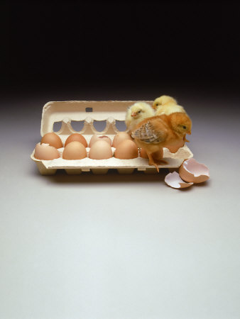 Chicks in a Carton of Eggs Photographic Print by Bob Kramer