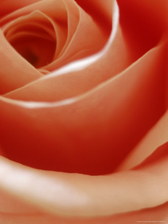 Apricot Rose Photographic Print by David Wasserman