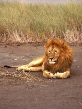 Lion, Masai Mara Game Resv, Kenya, Africa Photographic Print by Elizabeth DeLaney