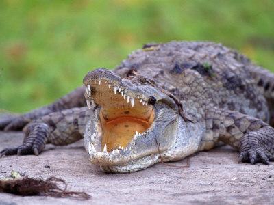 Crocodile, Mara River, Kenya Photographic Print by Elizabeth DeLaney