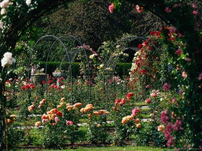 Kelleher Rose Garden, MA Fotografie-Druck