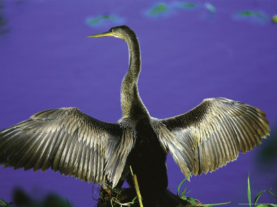 Anhinga Drying Wings Photographic Print