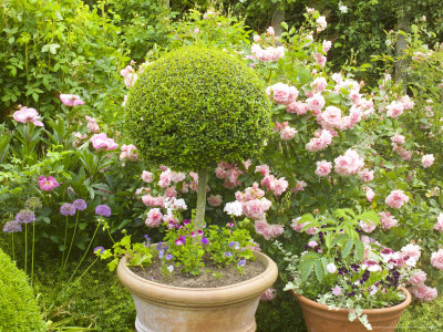 Clipped Buxus Ball in Terracotta Pot with Roses Behind, Little Malvern Court Malvern Worcester Photographic Print