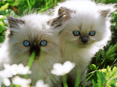 Two White Persian Kittens, Sweden Fotografisk tryk
