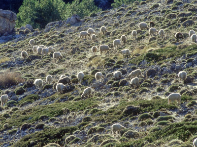 Sheep, Herd Feeding on Meadow, Andalucia, Spain Fotografiskt tryck