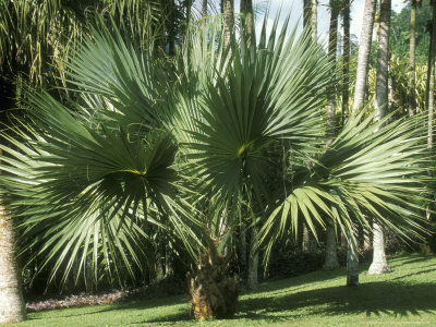 Bismarckia Nobilis (Fan Palm) Fotografisk tryk