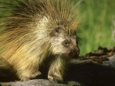 Porcupine, Montana Photographic Print by Bob Bennett