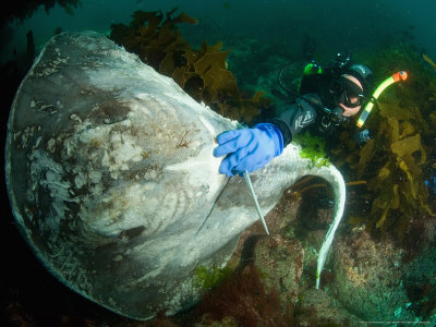 Diver with Dead Stingray, Poor Knights Islands, New Zealand ...