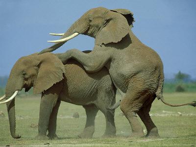african elephant art. African Elephant, Male