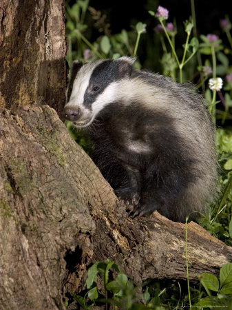 Badger on Tree Stump Foraging, Vaud, Switzerland Photographic Print