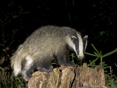 Badger, Foraging on Tree Stump, Vaud, Switzerland Photographic Print