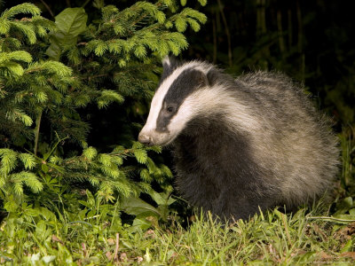 Badger, Foraging, Vaud, Switzerland Photographic Print