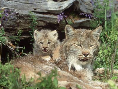 Canadian Lynx Kitten. Canada Lynx, Felis Lynx
