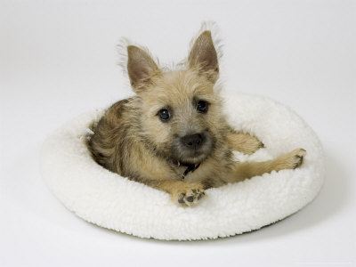 Cairn Terrier Puppy, 4 Months Old Photographic Print by David M. Dennis