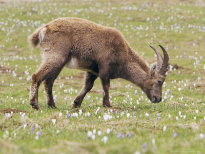 Ibex, Young Male Grazing, Switzerland Fotoprint av David Courtenay