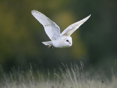 Pictures Of Owls In Flight. Barn Owl, Adult in Flight,