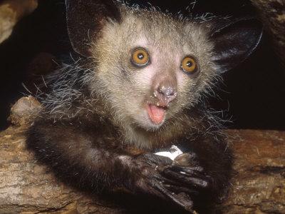 Les animaux, c'est rigolo Haring-david-aye-aye-juvenile-feeding-on-egg-duke-university-primate-center