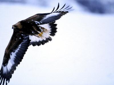 golden eagle in flight. Golden Eagle, 1st Year Male in