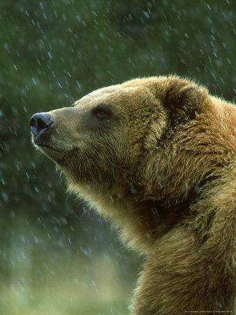 Grizzly Bear, Ursus Horribilis, Yelllowstone National Park, USA Photographic Print by Mark Hamblin