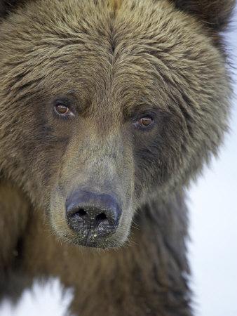 Grizzly Bear, Portrait of Adult Female, Alaska Photographic Print by Mark Hamblin
