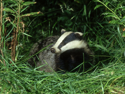 Badger, Amongst Vegetation, UK Photographic Print