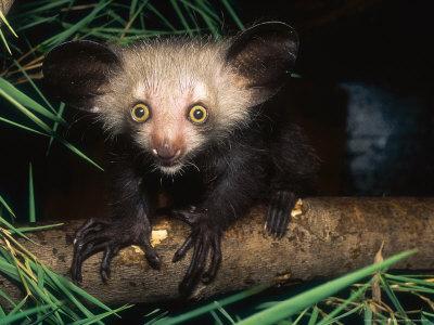Les animaux, c'est rigolo Haring-david-aye-aye-4-month-old-infant-on-branch-duke-university-primate-center