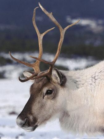 Reindeer, Close-up Portrait in Winter, Scotland Photographic Print by Mark Hamblin