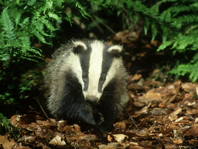 Badger, Close-up Photographic Print