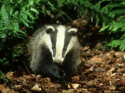 Badger, Close-up Photographic Print by Mark Hamblin