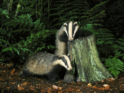 Badger, Cubs on and Around Tree Stump, UK Photographic Print