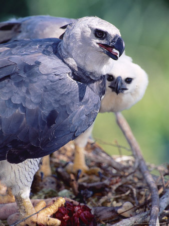 Harpy Eagle, Delivering Fresh Tambopata Kill, Tambopata River, Peruvian Amazon Photographic Print