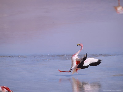 jones mark jamess flamingo slippery landing laguna colorada bolivia Bolivia y su interesante Laguna colorada