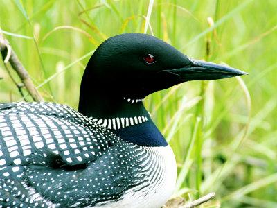 common loon feet. common loon nest.