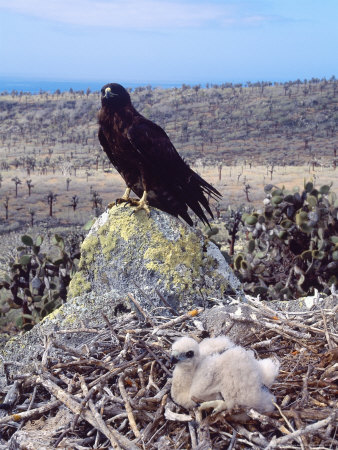 Galapagos Hawk, with Chick on Nest, Galapagos Stampa fotografica di Mark Jones