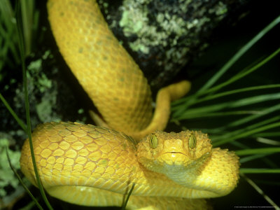 bush viper snake - Google Images Search Engine