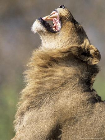 African Lion, Male Showing Flehmen Grimace, Botswana Photographic Print by Richard Packwood