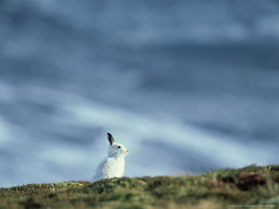 Mountain (Blue) Hare, Monadhliath Mtns, Scotland Photographic Print by Richard Packwood