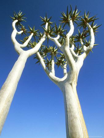 Quiver Tree, Namib-Naukluft Park, Namibia Photographic Print by Richard Packwood