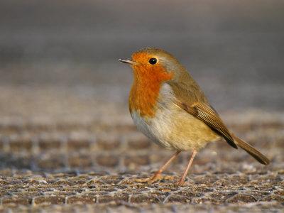 Robin, Standing, Hampshire, UK Stampa fotografica di Elliot Neep