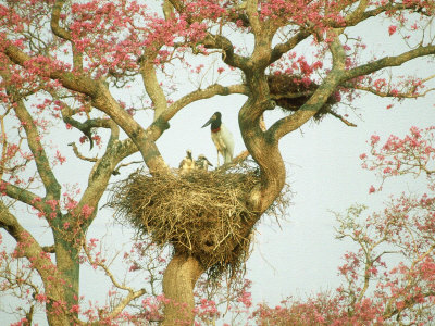 Jabiru Stork at Nest, Brazil Photographic Print by Richard Packwood