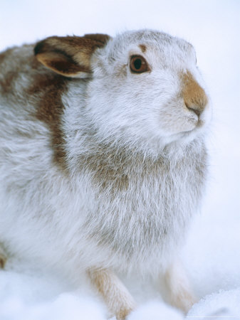 Mountain Hare or Blue Hare, Shows Coat Colour in Late January, Monadhliath Mountains, UK Photographic Print by Richard Packwood